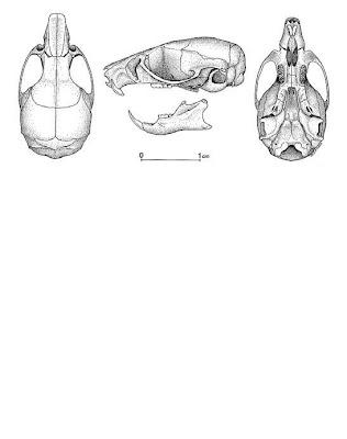 cráneo de Ratón misionero Bibimys labiosus