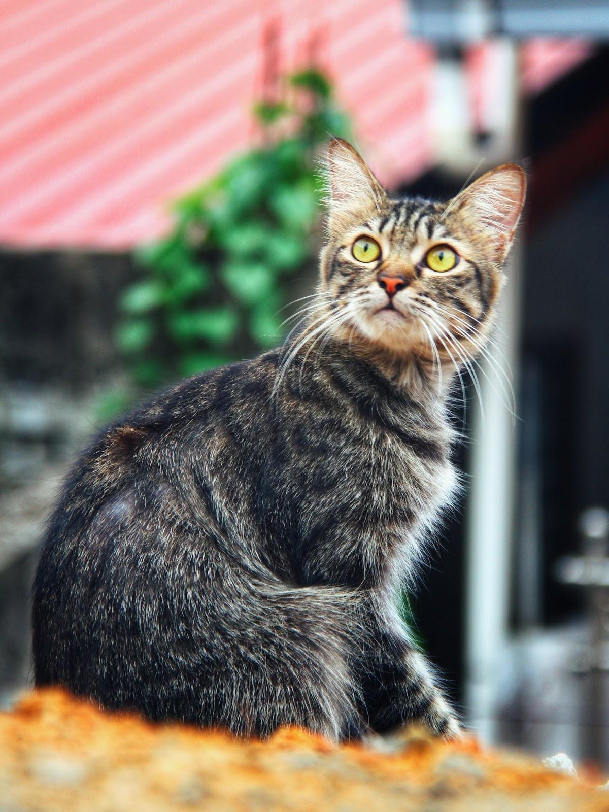 20 Koleksi Gambar Kucing Comel Bernama Tambi 12