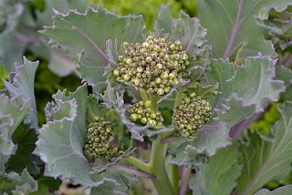 Sea kale sprouts