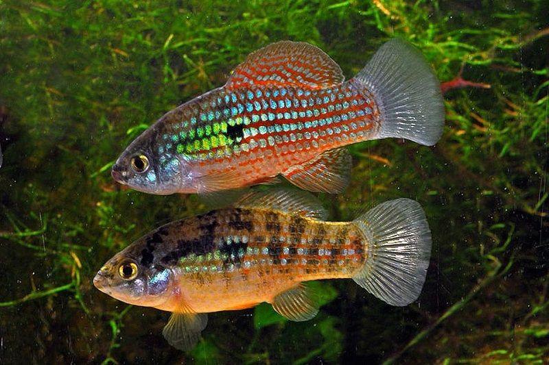 Gambar Ikan Hias Air Payau-Ikan American Flagfish