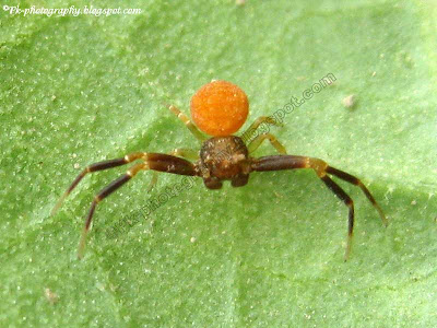 Orange Crab Spider