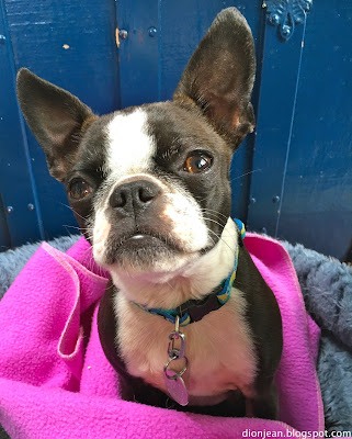 Sinead the Boston terrier looking up