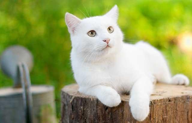 Snowball Si Kucing