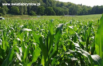 labirynt w kukurydzy, Świat Labiryntów, Bliziny 2012
