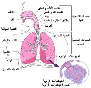أعضاء التنفس لدى الإنسان