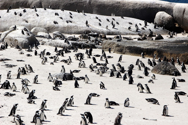 Hundreds of black and white penguins in the wild on a white sandy beach as well as on large boulders.