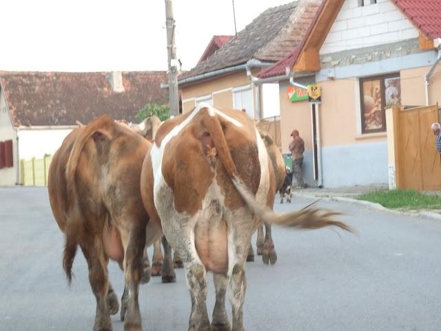 Krowy na drodze (sierpień 2014)