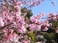 鶴岡八幡宮の彼岸桜