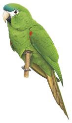 Southern red shouldered Macaw