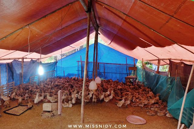 peternakan bebek dibrebes