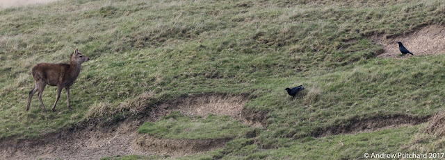 A young calf decides it is not worth the energy to chase two crows.