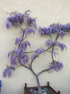 Wysteria in full bloom at Gone Fishin Aiguillon 2france4two.com