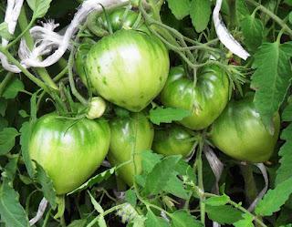 6 июля, первые завязи помидоров
