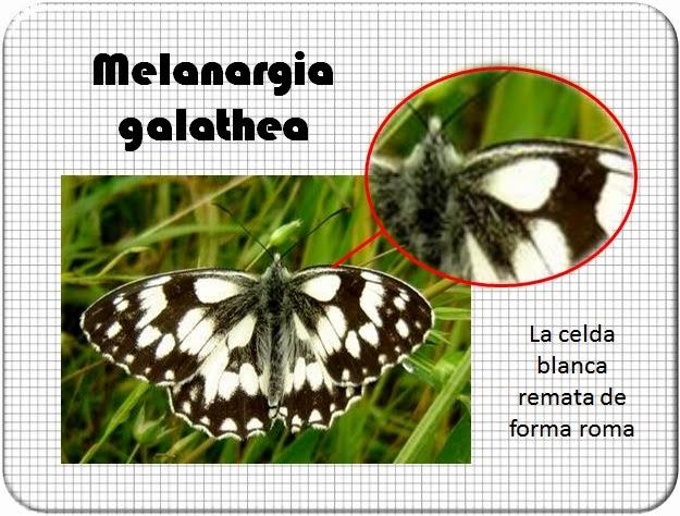 Celda de la Melanargia galathea