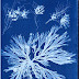 Cyanotype Impressions by Anna Atkins, an inspiration for Mert & Marcus