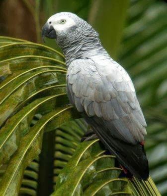 Loro yaco: Psittacus erithacus