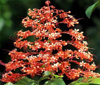 Obat Herbal Bunga Pagoda