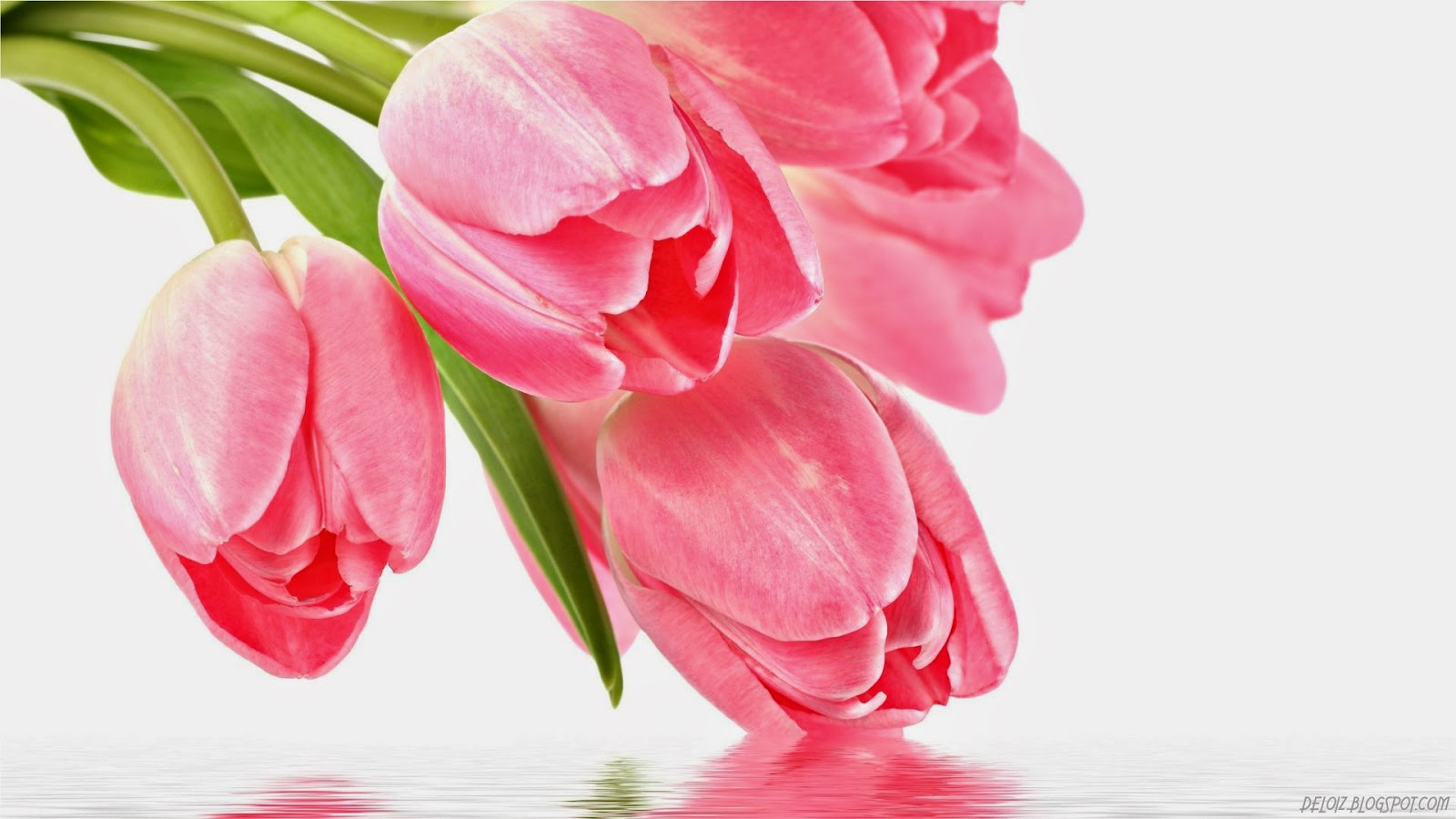 Wallpaper Bunga Tulip Pink Deloiz Wallpaper
