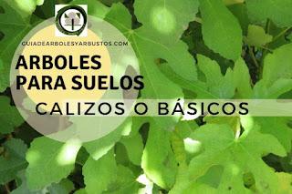 Arboles y arbustos para suelos calizos o básicos para el bosque de alimentos