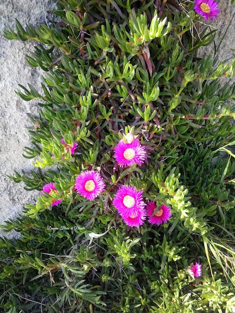 Carpobrotus edulis, floarea de gheata care calmeaza intepaturile de tantar