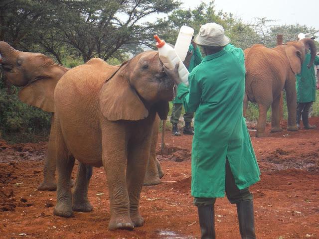 Alimentando al bebé elefante
