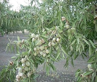Cây hạnh nhân là cây gì? có tác dụng gì? trồng sống ở đâu?