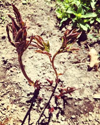 Pioni eli kiinanpioni Ewelina kasvattanu pidempiä versoja sitten isutuksen