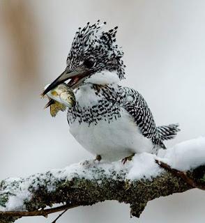 Crested kingfisher - Megaceryle lugubris