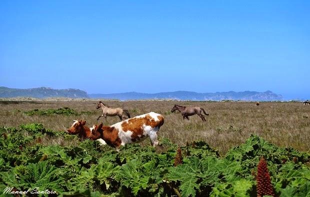 Parque Nacional Chiloè, animali al pascolo