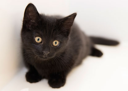 Beautiful black kitten