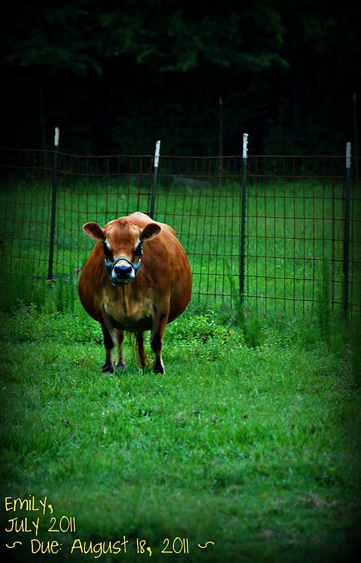 Southern Touch Farm Miniature Jersey Cow