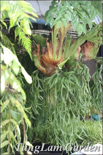 Dương xỉ, tóc thần vệ nữ, quyển bá, ổ rồng, cây nội thất, cây rủ, cây treo,