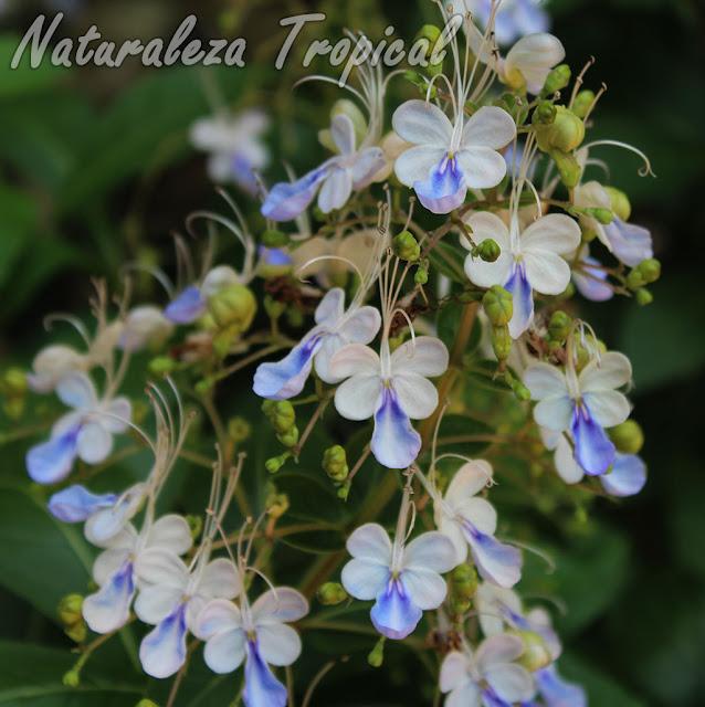 La Mariposa Azul, Rotheca myricoides