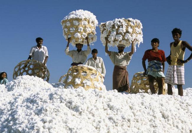 Raw cotton fiber