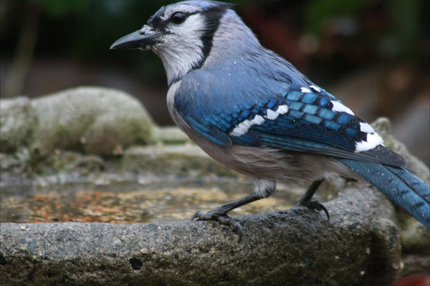 20 Bird Blue Jay Pictures And Ideas On Stem Education Caucus