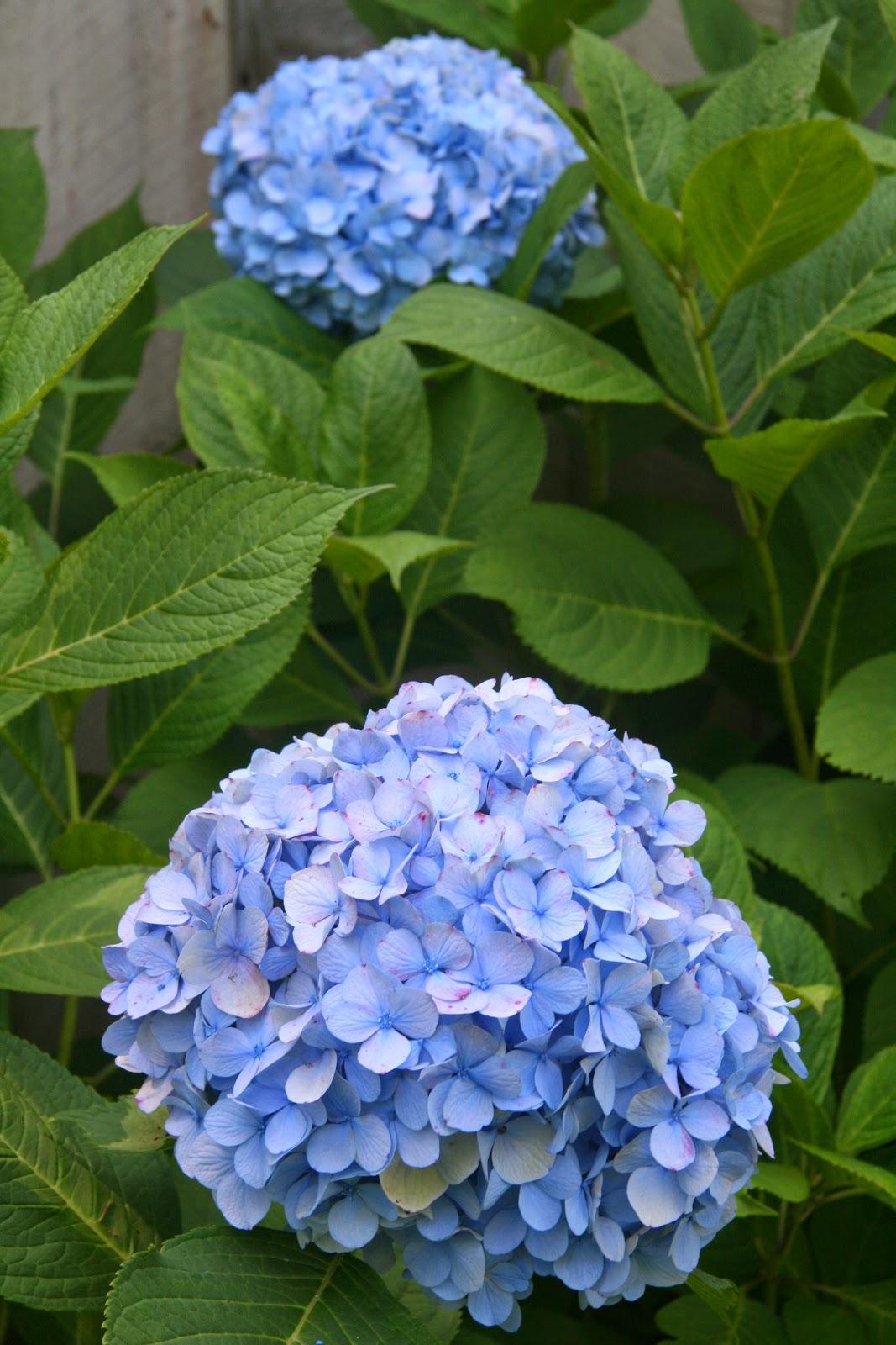 гортензия метельчатая синяя фото попадании загрязнителя