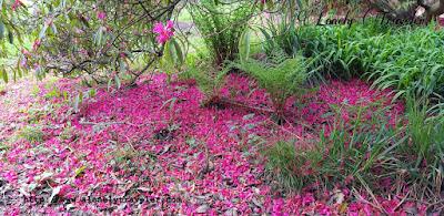 Rhododendron in wicklow botanic garden