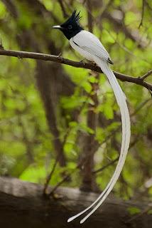 Suara Burung Seriwang Asia (Tali Pocong)