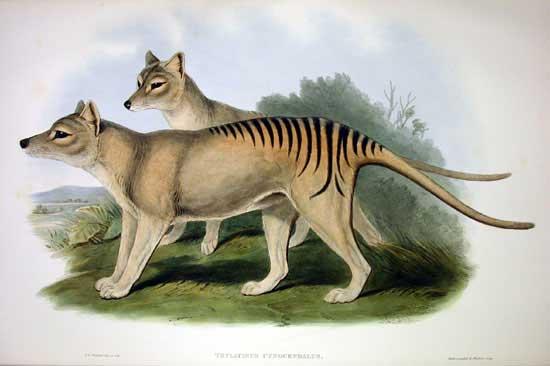 Thylacinus cynocephalus - Ilustração artística