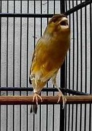 Burung kenari memang merupakan salah satu jenis burung yang mempunyai ciri khas kicauan ya Tips Dan Cara Agar Kenari Gacor Ngeroll Panjang