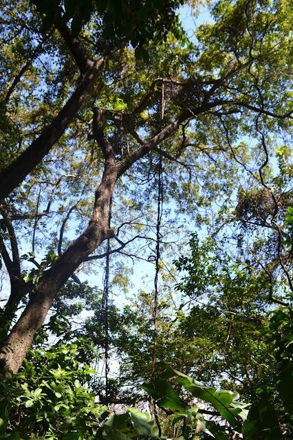 Guyane, sentier du rorota, mahury, Rémire