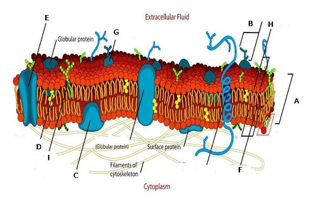 Multiple Choice labeling Quiz on Fluid Mosaic Model of Plasma Membrane