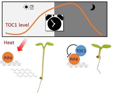 La réponse des plantes à la chaleur fluctue entre le jour et la nuit