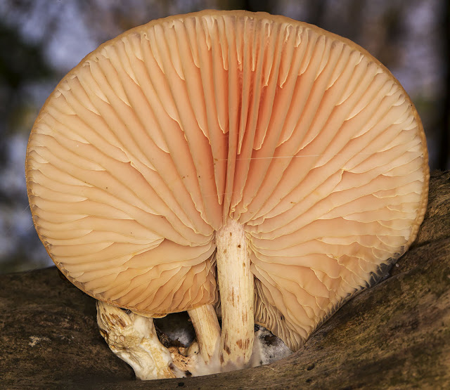 Rhodotus palmatus, Wrinkled Peach.  High Elms Country Park, 11 November 2014.