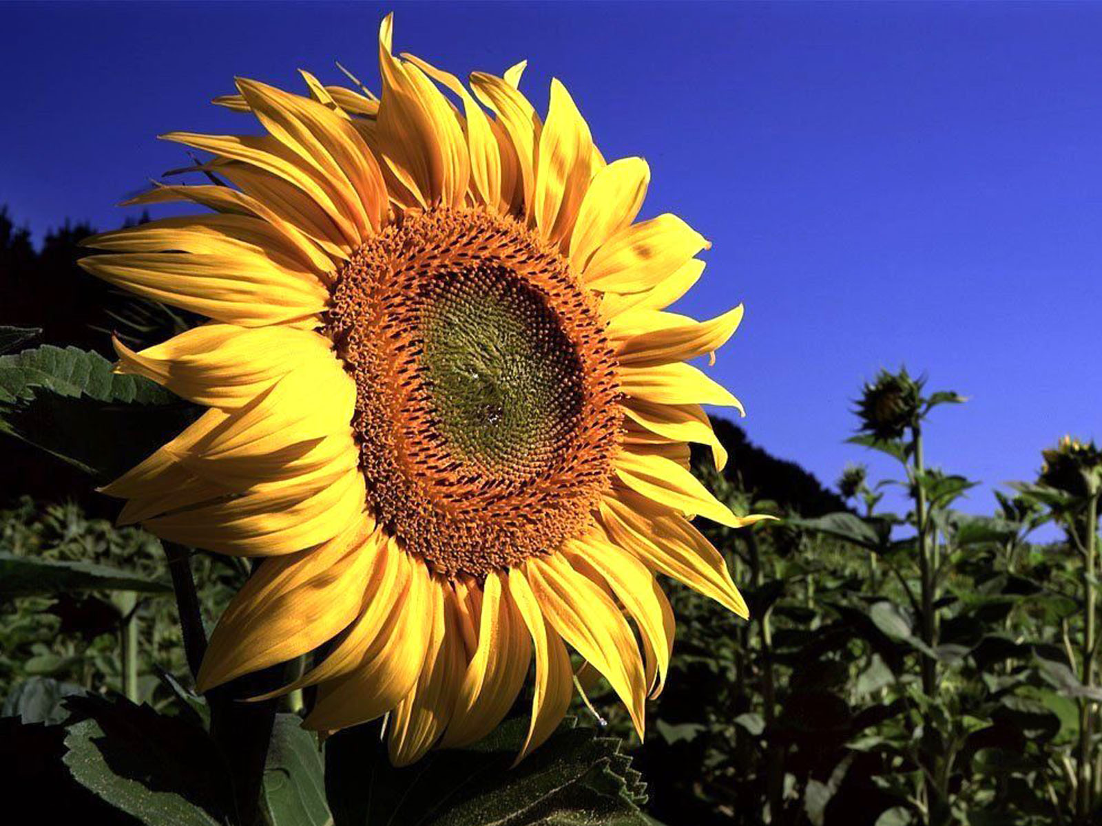 Free Car Wallpapers For Windows 7 Wallpapers Sunflower Close Up Wallpapers