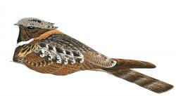 Lyncornis macrotis