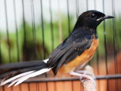 3 Cara Akurat Mengatasi Burung Murai Batu Terlalu Jinak/Ngelowo Yang Sudah Terbukti