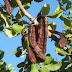 Η Χαρουπιά είναι το δέντρο εργοστάσιο, είναι ο χαμένος ελληνικός θησαυρός