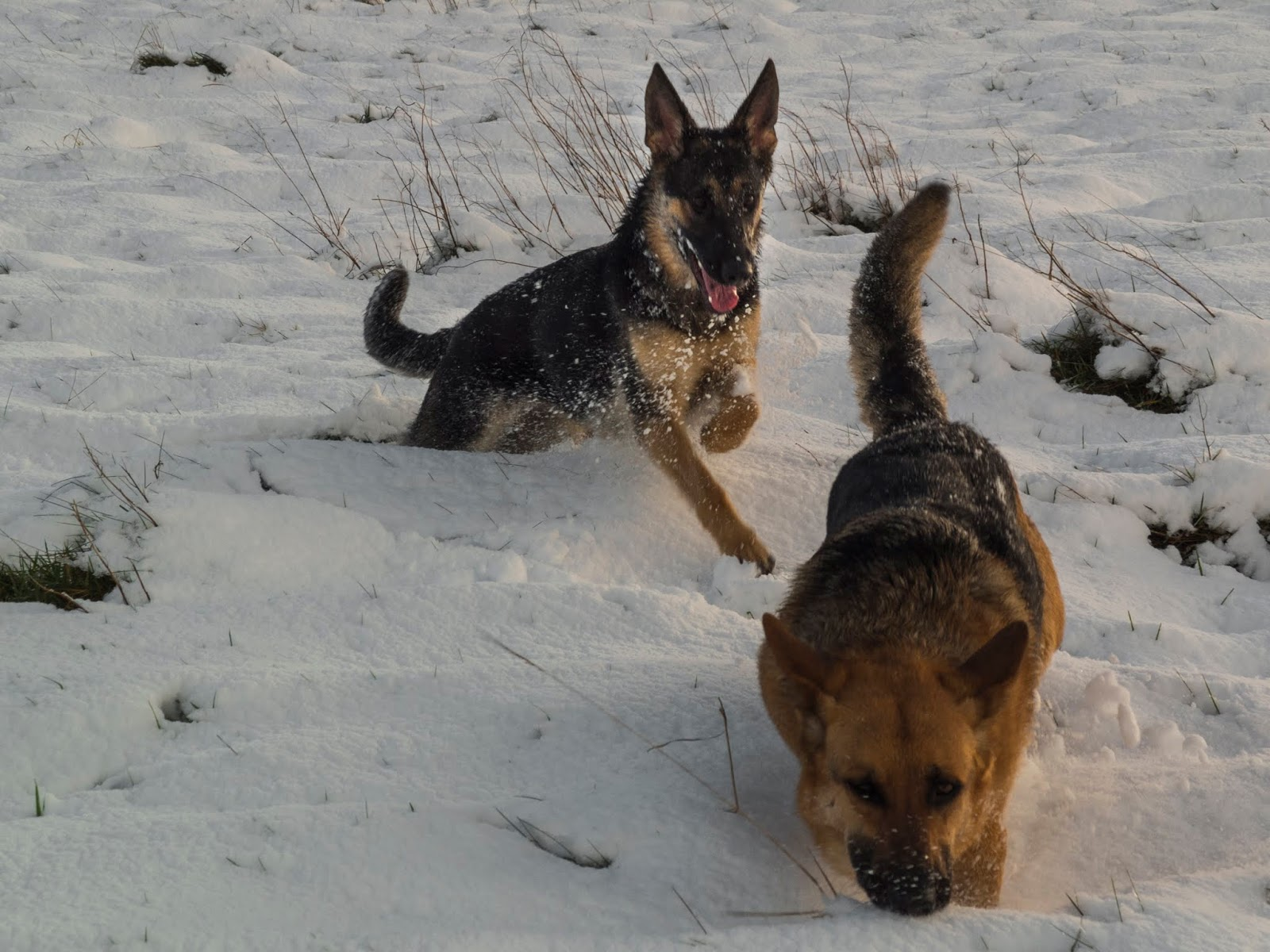 German Shepherd Poppy chasing her mom Nala down a snowy hillside.