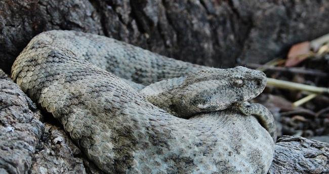 Το μεγαλύτερο φίδι της Ευρώπης ζει στην Κύπρο – Δηλητηριώδες και επικίνδυνο